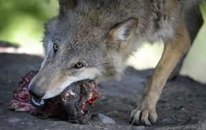 Dieser Wolf frisst wohl sowas ähnliches wie unser Bio Hundefutter